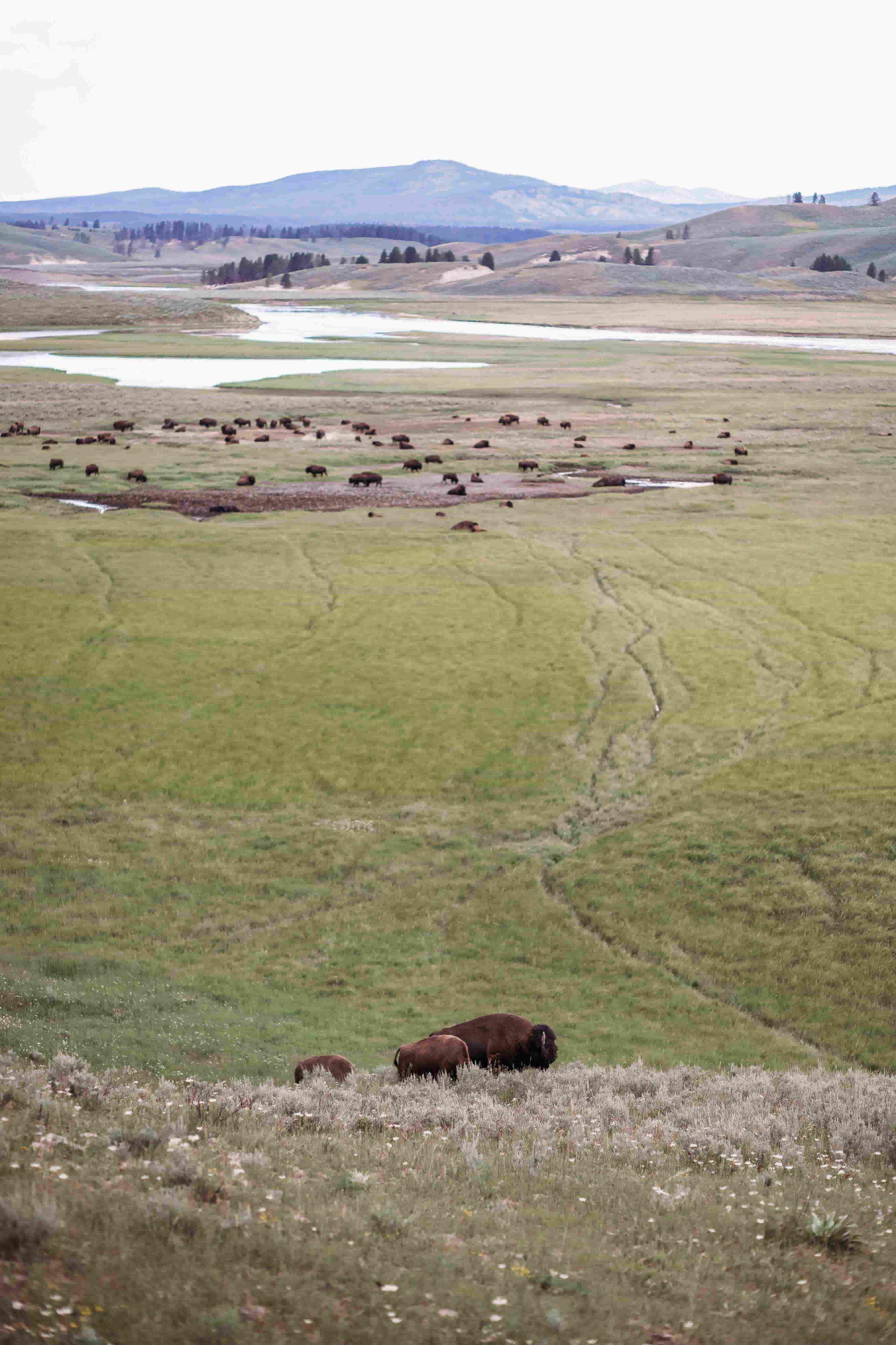 Yellowstone Hayden Valley6.jpeg