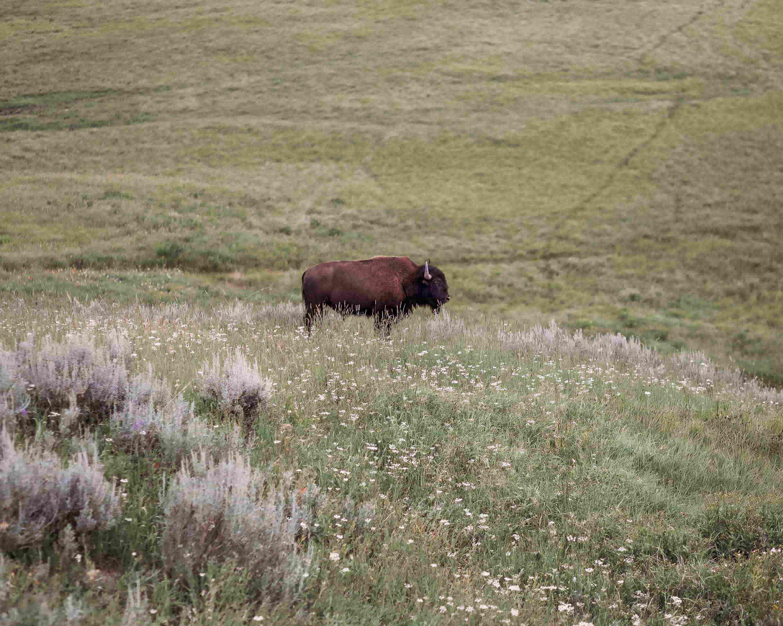 Yellowstone Hayden Valley8.jpeg