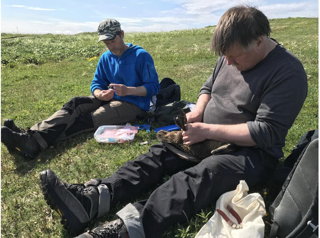 Ea ligger rolig på rygg mens Alte Ivar Olsen fra NORD universitet og Thomas Holm Carlsen fra NIBIO, måler, veier og setter ring på foten. Foto: Liv Jorunn Hind.