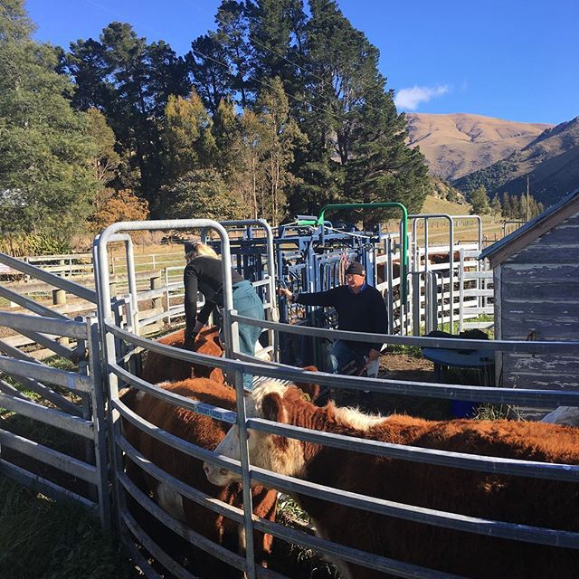 TB testing is such a hassle but great to get a clear test.  #nzherefords #whitefaceadvantage #sgl #nzfarming #fabweather