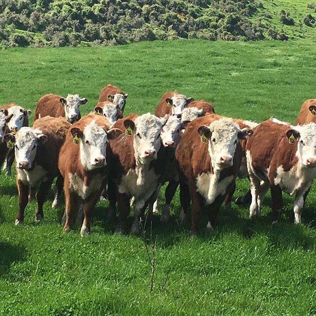 Poor wee girls get put on the back burner over the bull sale period. It's time to spoil them and lift them for mating in December #nzherefords #whitefaceadvantage #sgl