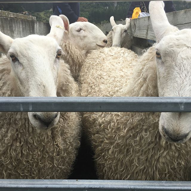 Look out Fairlie and Christchurch Shows, Shrimpton's Hill Border Leicester's are getting ready!!! #haha #ewehoggets #showteam #inthefamfor149years