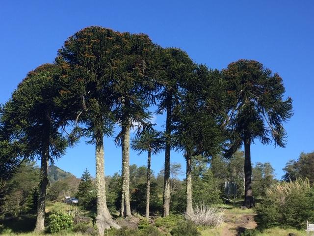 Bosque de Araucarias, Araucanía, Chile. Foto: Bruno Solari