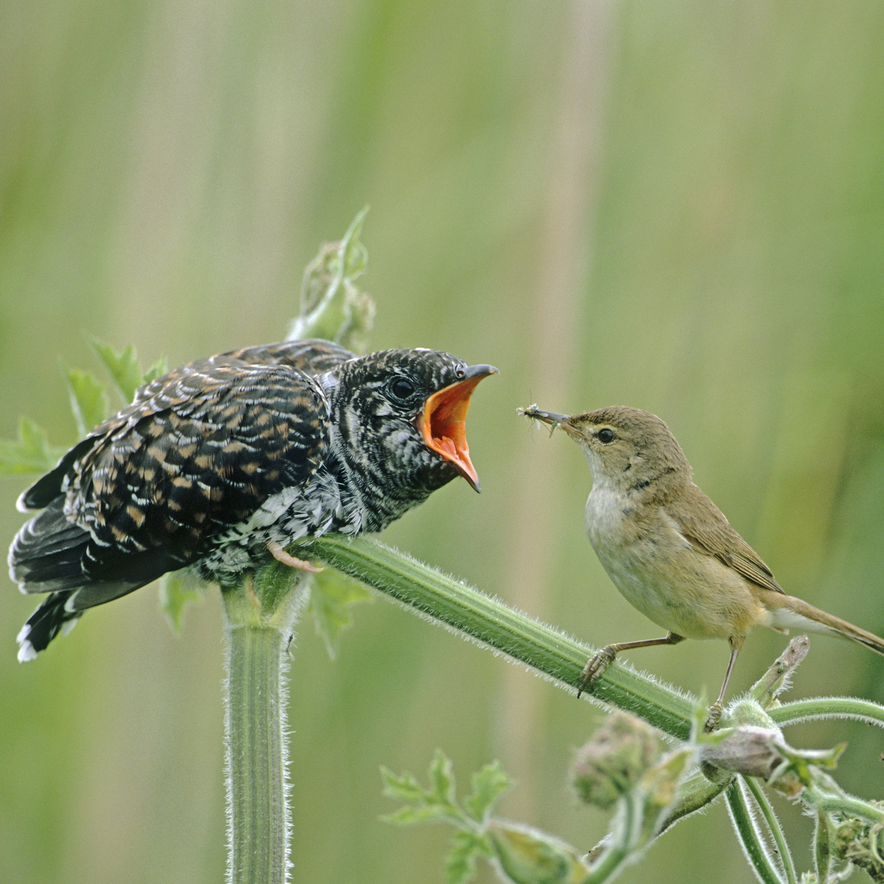 A Reed Warbler feeds a Common Cuckoo chick. © D. Kjaer