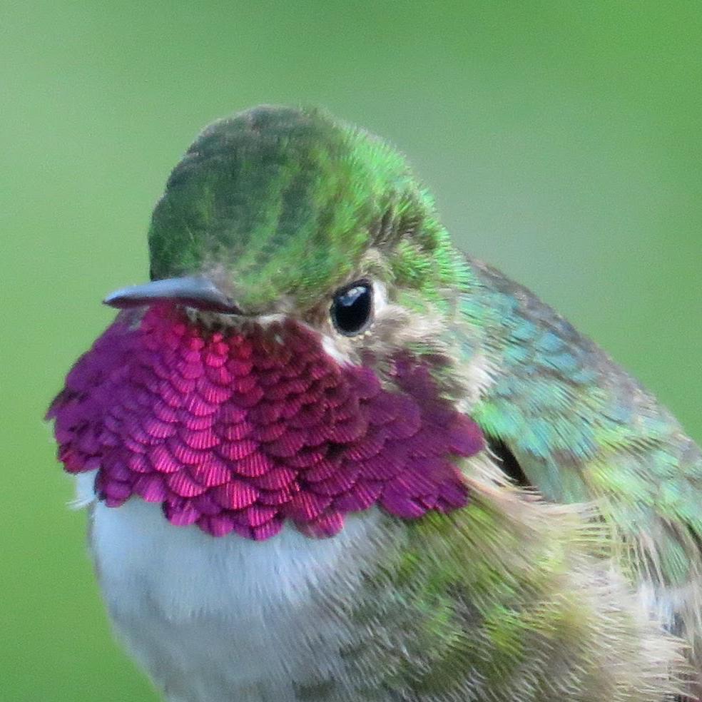 A male Broad-tailed Hummingbird © M. C. Stoddard