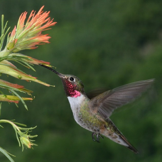 A male Broad-tailed Hummingbird foraging. © D. Inouye