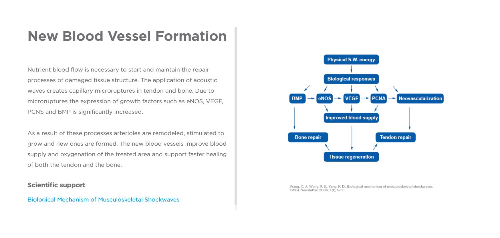 Blood Vessel Formation.PNG
