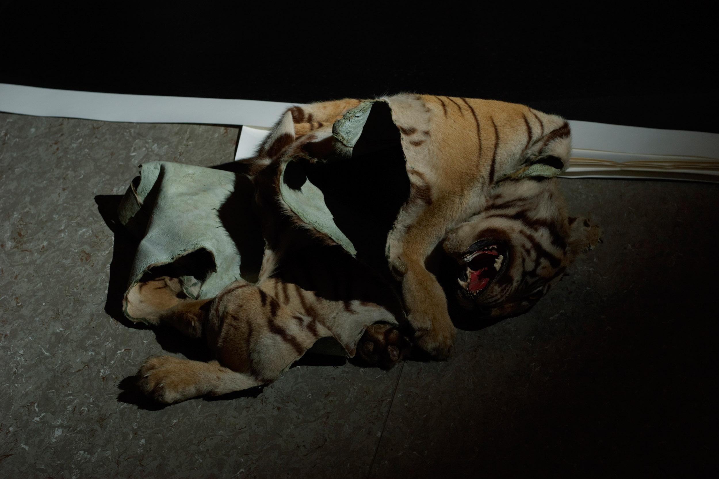 Tiger, 2006