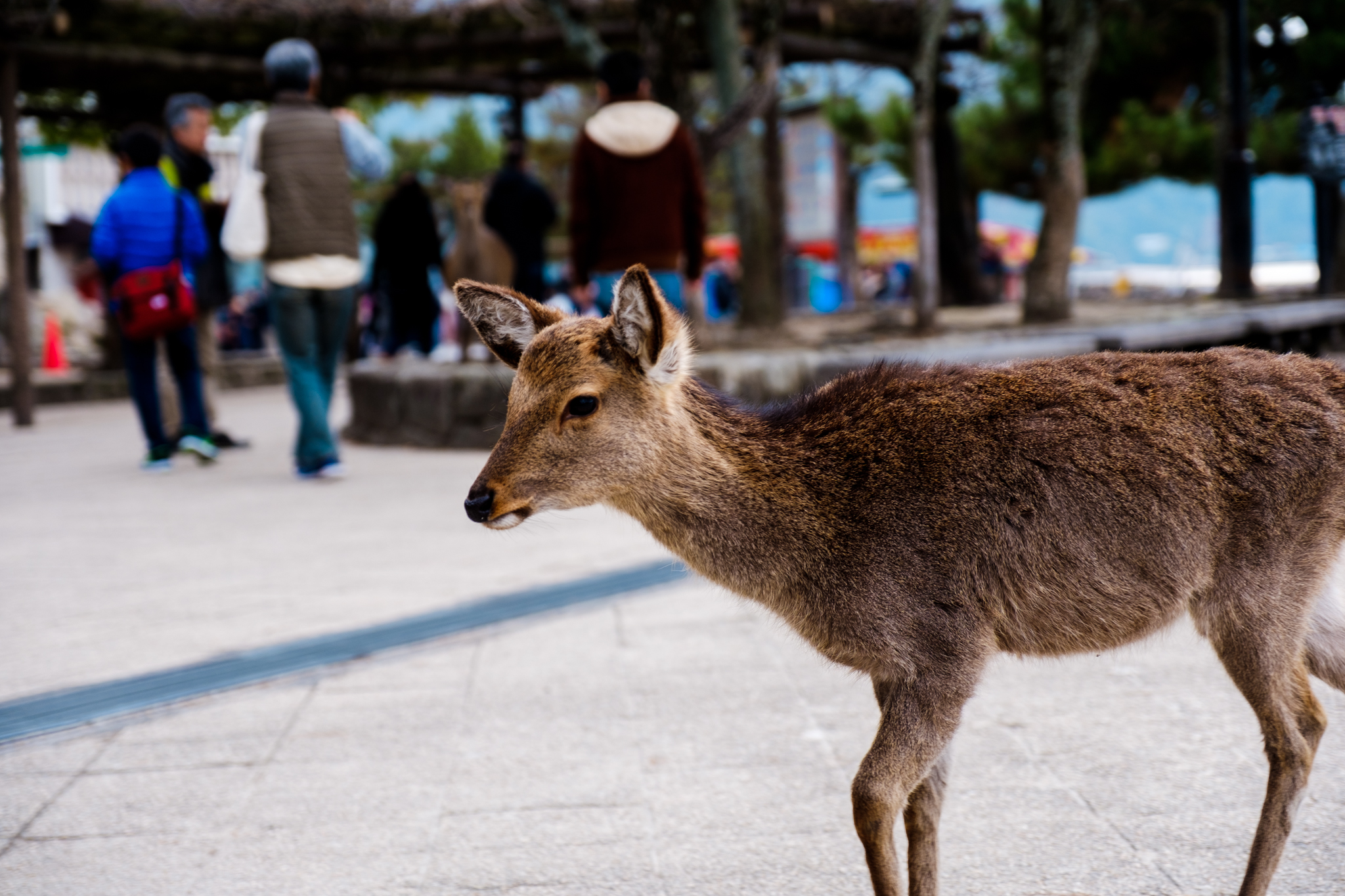Deer on Miyajima Island as well