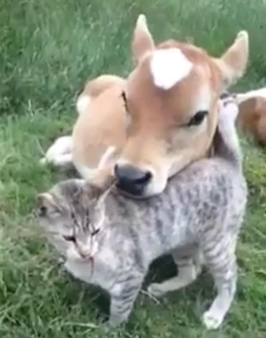 cat cow.jpg