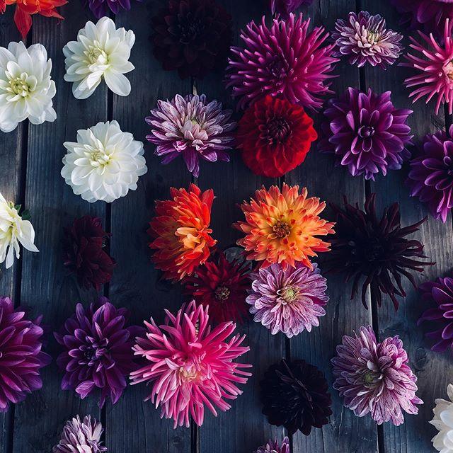 Dahlia !!!!! 🌺 🌺 🌺 #fridaythe13th  #fridaymood  #flowers  #thattimeoftheyear  #hithchin #local #hertfordshirelife  #pub #cheftable  #cheflife🔪  #tropjolie  #color  #dahlia  #dahliaseason  #sun  #love #share #instaflowers  #instaflowerlovers  #flowerpower