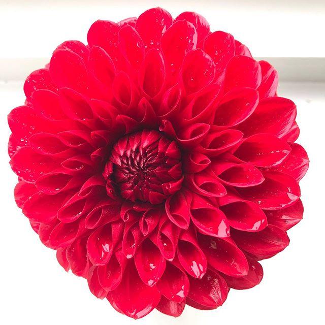 Fresh dalhia no filters !!! @keechdesign @janie_the_cook  Lovely hobbies !!!!! . . . #dahlia  #flowers  #hitchin  #hitchintown  #saturday #hobbies  #pretty  #october  #instaglower  #flowerporn  #perfect  #symetrical  #symetricalmonsters  #design  #designinterior  #love  #diteleavecdesfleurs  #hertslife