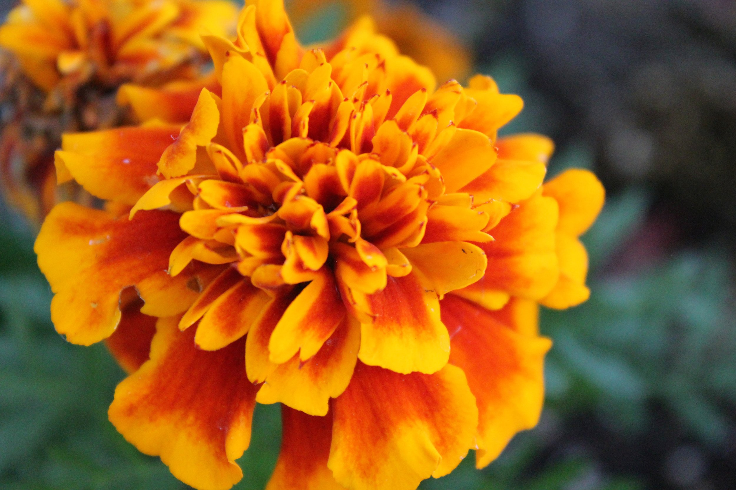 How can marigold benefit your medical facility? -