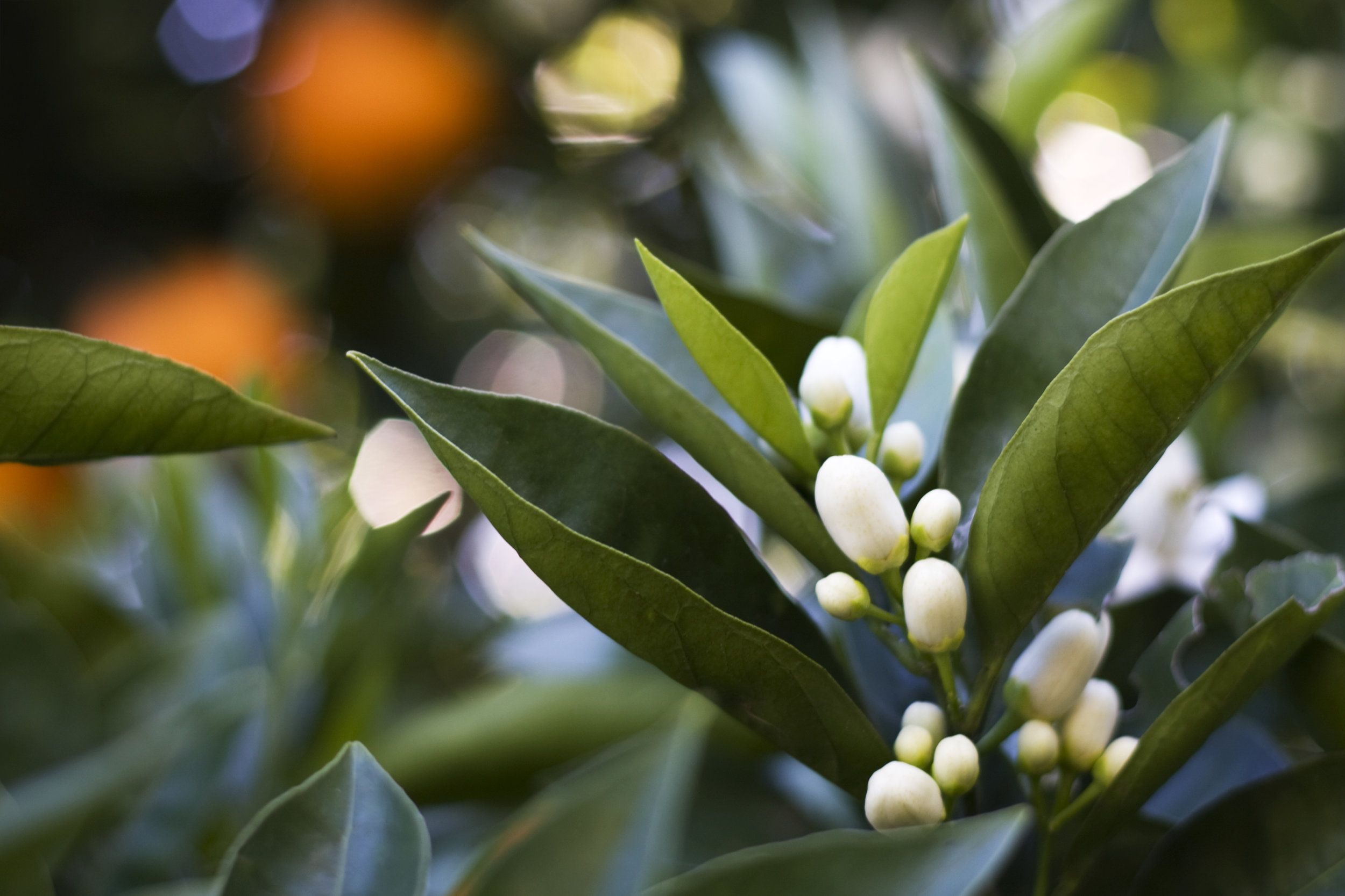 Orange blossoms are bursting with fragrance.