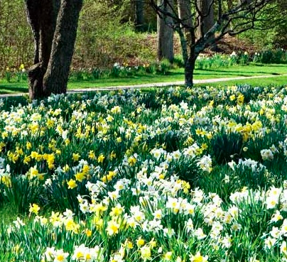 This wondrous site can be yours year after year when planting bulbs in grass.