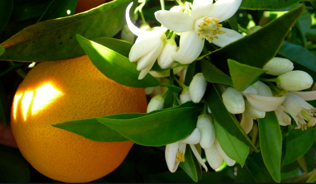 Orange blossom - These are best kept in the tree to enjoy for a long time