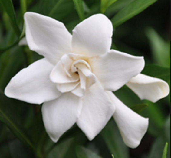 Gardenia - Oh so fragrant but it's life is short after picking