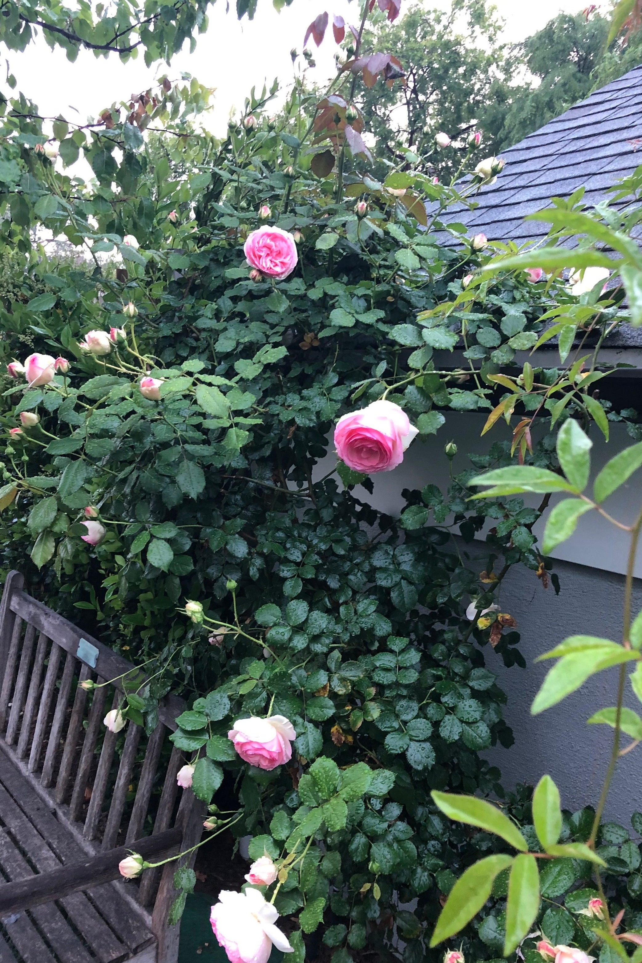 Climbing roses are nature's great disguisers - Roses climb here to cover a roof