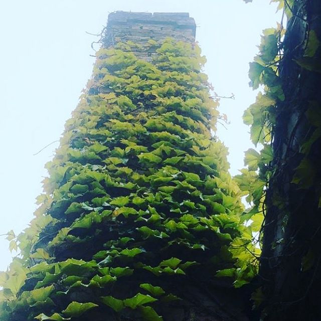 Scotch oven + chimney + Boston ivy + blue skies #bluemountains #woodfired #spring