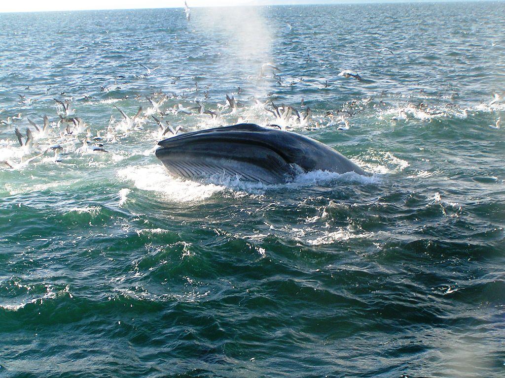 Bryde's_Whale_-_Auckland,_New_Zealand.jpg
