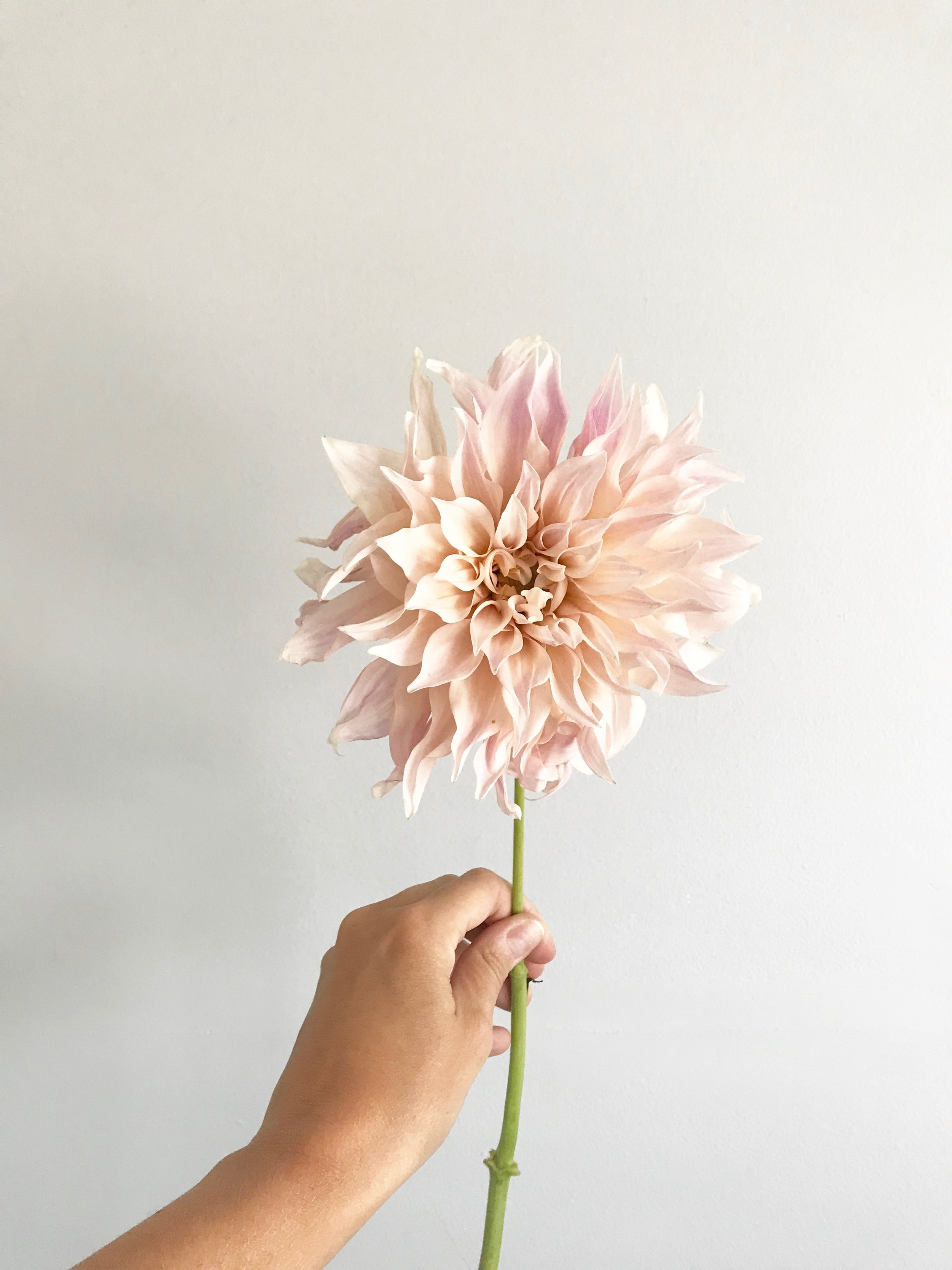 These dahlias are a perfect transition between summer and fall, because they come in beautiful shades of blush and light taupe, but prefer the cooler temperatures that fall weather offers. They are huge, often the size of your open hand, making a great focal point in bouquets!