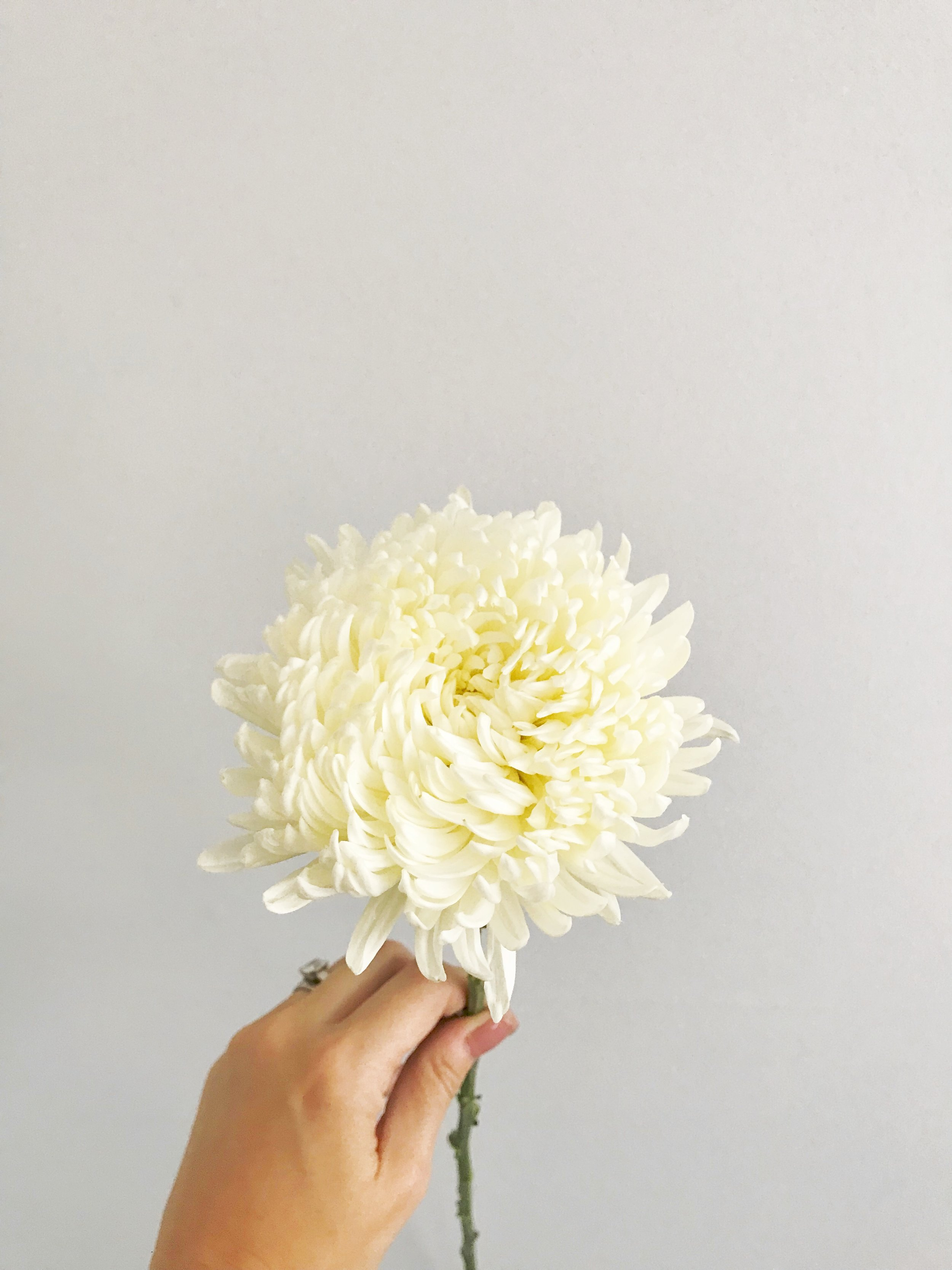 It's no secret that mums are a popular choice for fall gardens, but this oversized, fluffy variety is perfect for bridal bouquets and arrangements! They open up big and beautiful, and have so many tiny petals they they are just downright fluffy! The white ones are a beautiful addition to bouquets!