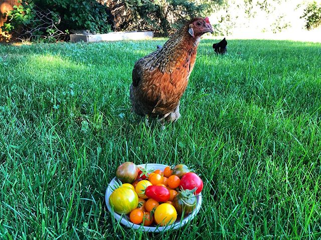 This is summertime happiness right here! Sitting on my lawn with a bowl of fresh tomatoes from my garden. Just chillin with the chickens 🐓  #makersbreak #gardenlife #makerslife #tomatolover #chickenlife #minihomestead #countrylife #growyourownfood