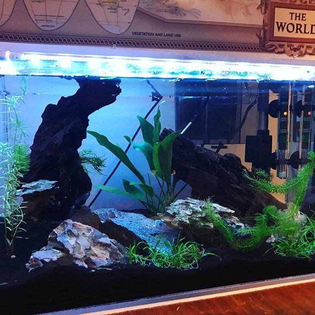 Finally got the lid and leds for the 10 gallon. • • • • • #betta #bettas #bettafish #bettatank #bettasorority #bettasplendens #bettasofinstagram #bettacontest #fishtanks #fishkeeping #bettaaddict #fishofinstagram #instafish #cupang #bettaholic #plantedtank #planted #aquascape #aquarium #bettausa #tropical #bettacommunity #wildbetta #fishcommunity #freshwaterfish #421 #diyfish #421mediahouse #raspberrypi