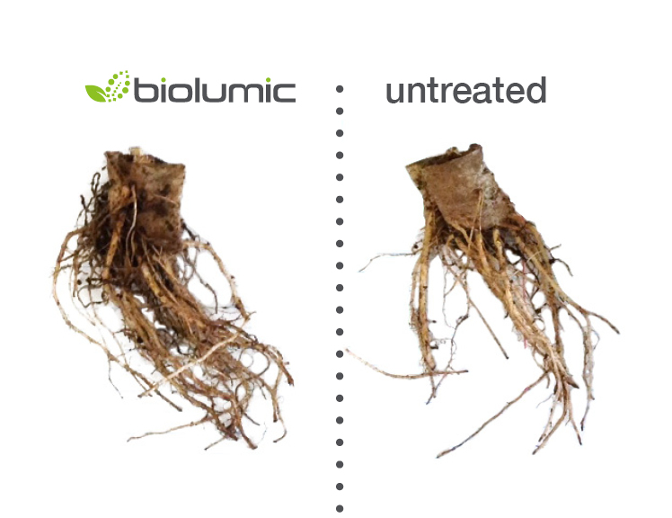 Boosting roots - Healthy and productive root growth is arguably the key trait in agriculture, promoting strong crop establishment. Our manipulation of UV morphogenesis induces increased biomass partitioning to roots, and alterations in root architecture, strengthening field establishment and early crop vigour. Because of this, we can increase plant nutrient use efficiency in a way that no one else can. When fertilized at a sub-optimum rate, BioLumic-treated head-lettuce show final yield increases greater than 100%.