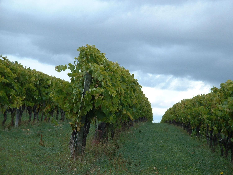 Vines 2008 (22).JPG