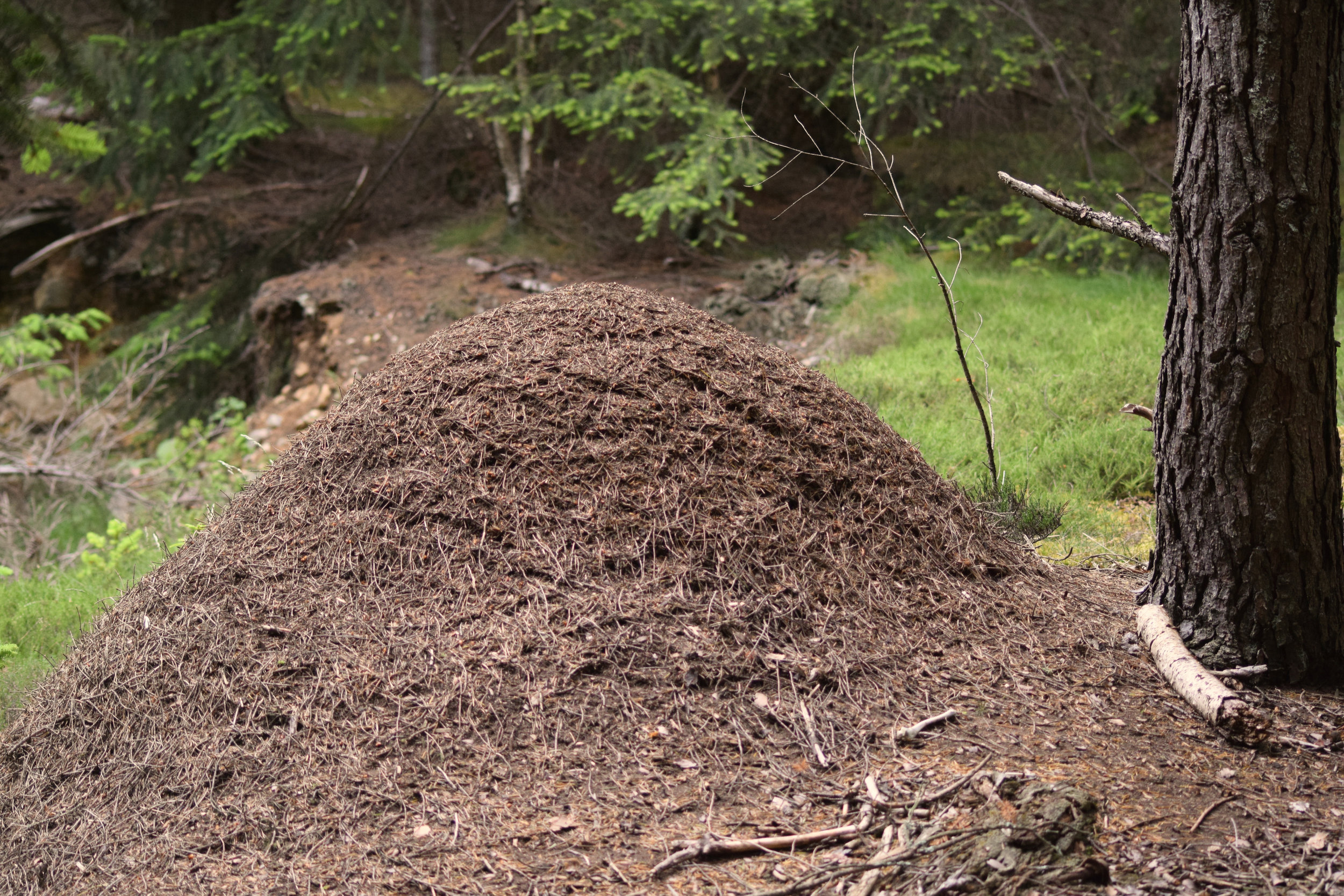 Scottish Wood Ant Nest - The largest of the nests found when surveying on Glen Tanar Estate