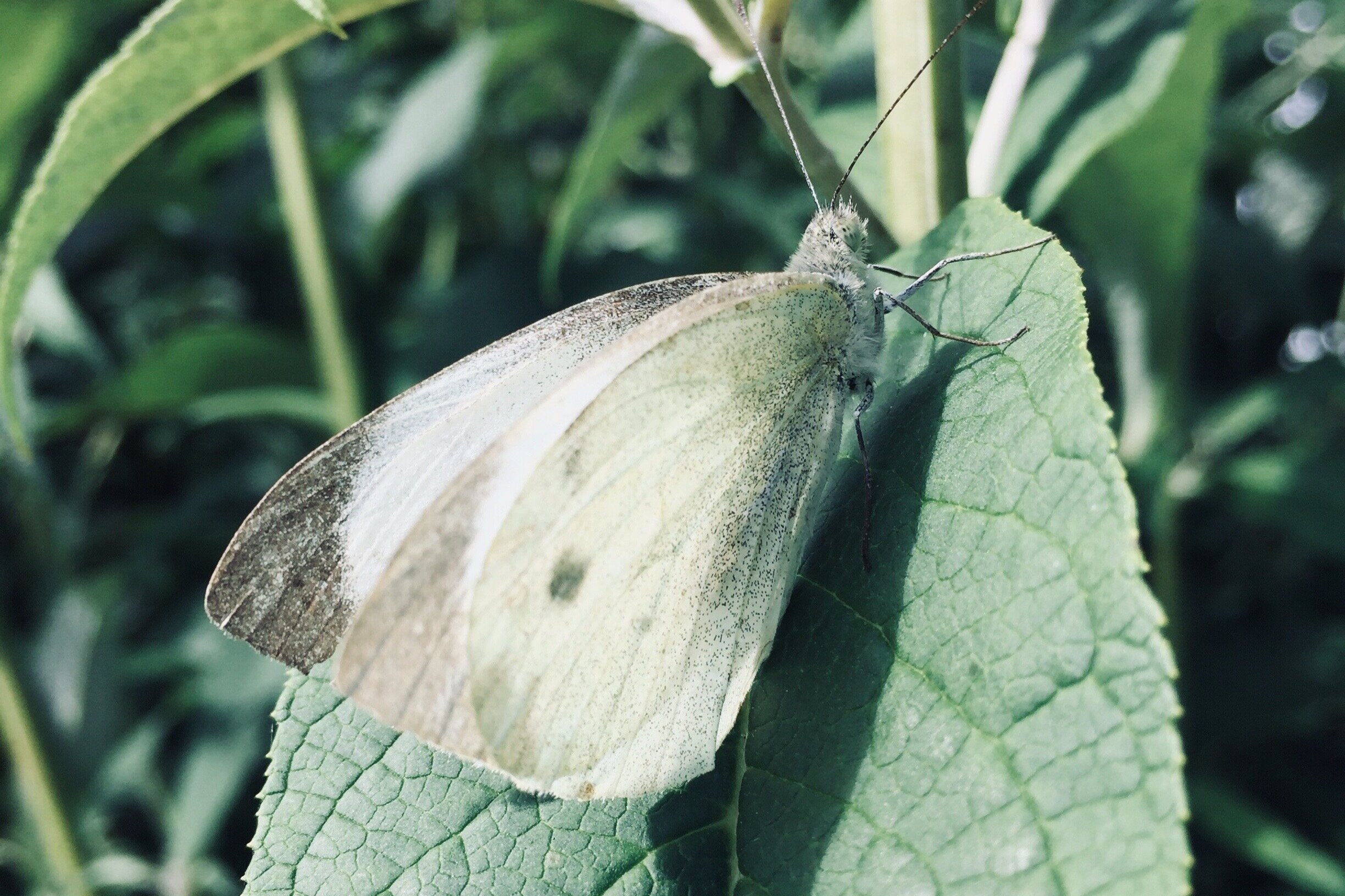 """Large White (Pieris brassicae) - Often referred to as the """"cabbage white"""" butterfly due to it's preference for laying eggs on cultivated brassicas. This large butterfly has very prominent black tips to the wings, which extend along both edges (like an """"L"""" shape"""