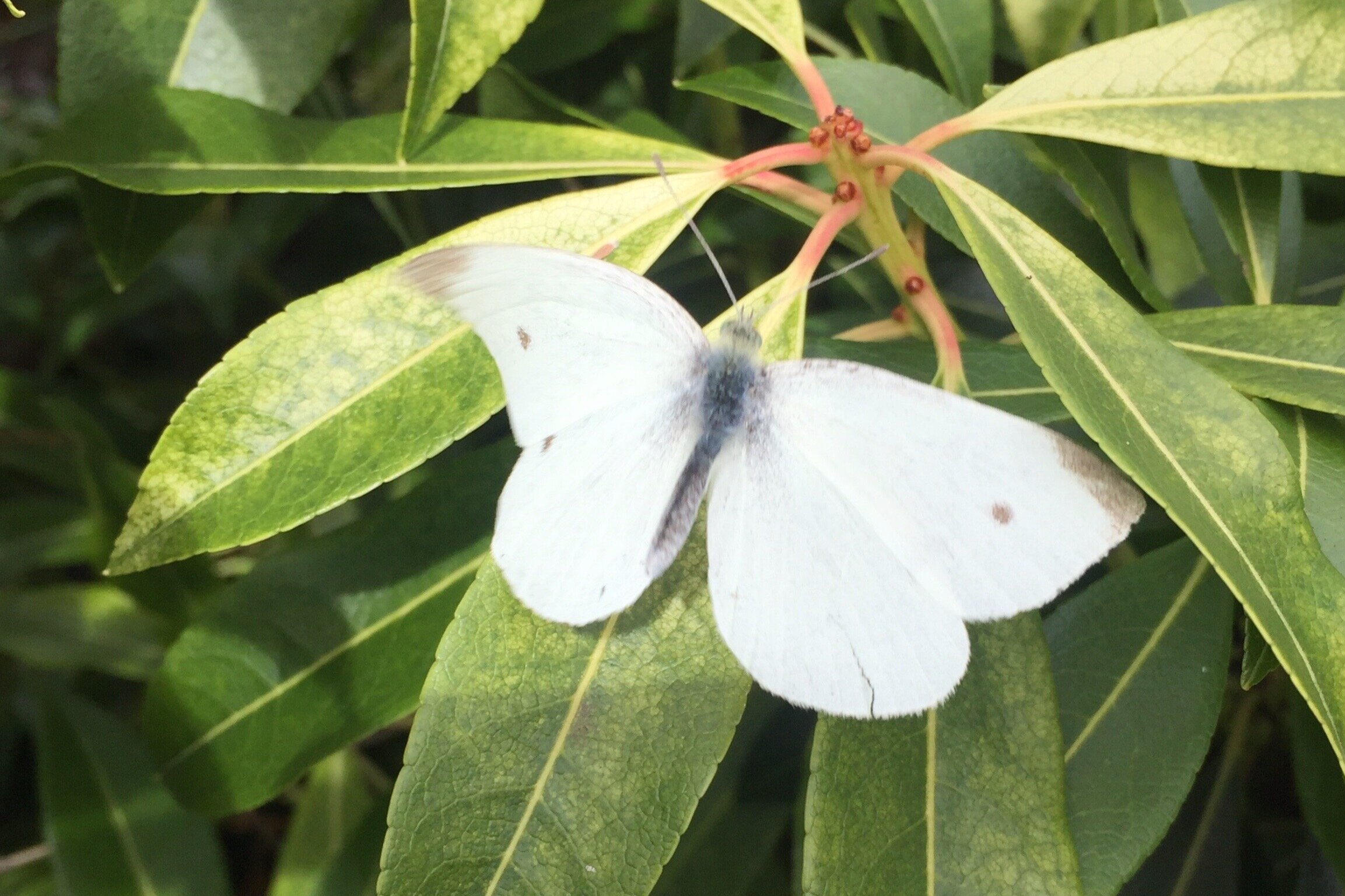 Small White (Pieris rapae) - This butterfly has brilliant white wings and although similar to the Large White, is smaller and with less prominent black wing tips. Like the Large White, it favours gardens and allotments where it's preferred larval food plants can be foundCaterpillar foodplants: Brassica family