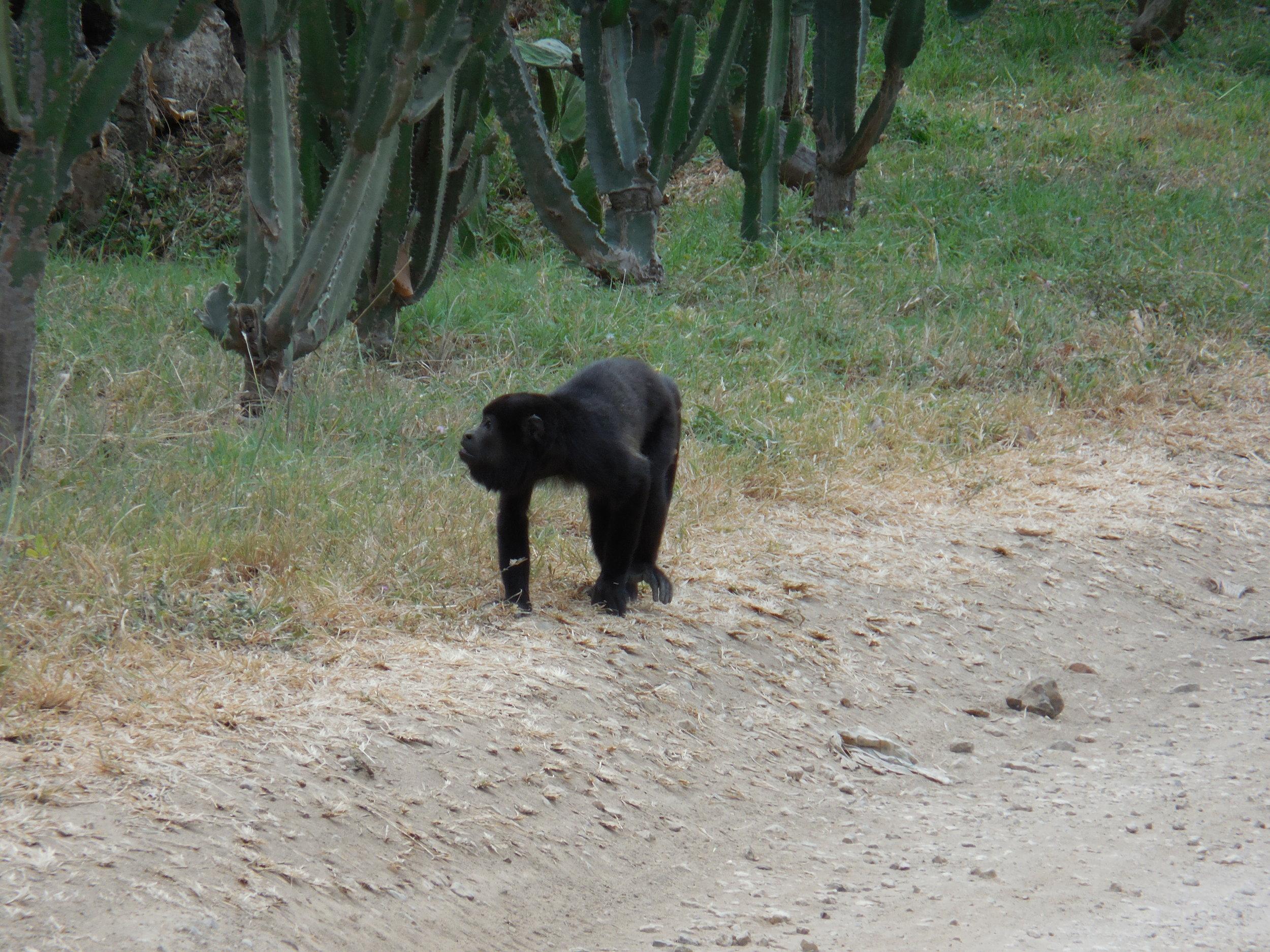 Monkey Tamarindo