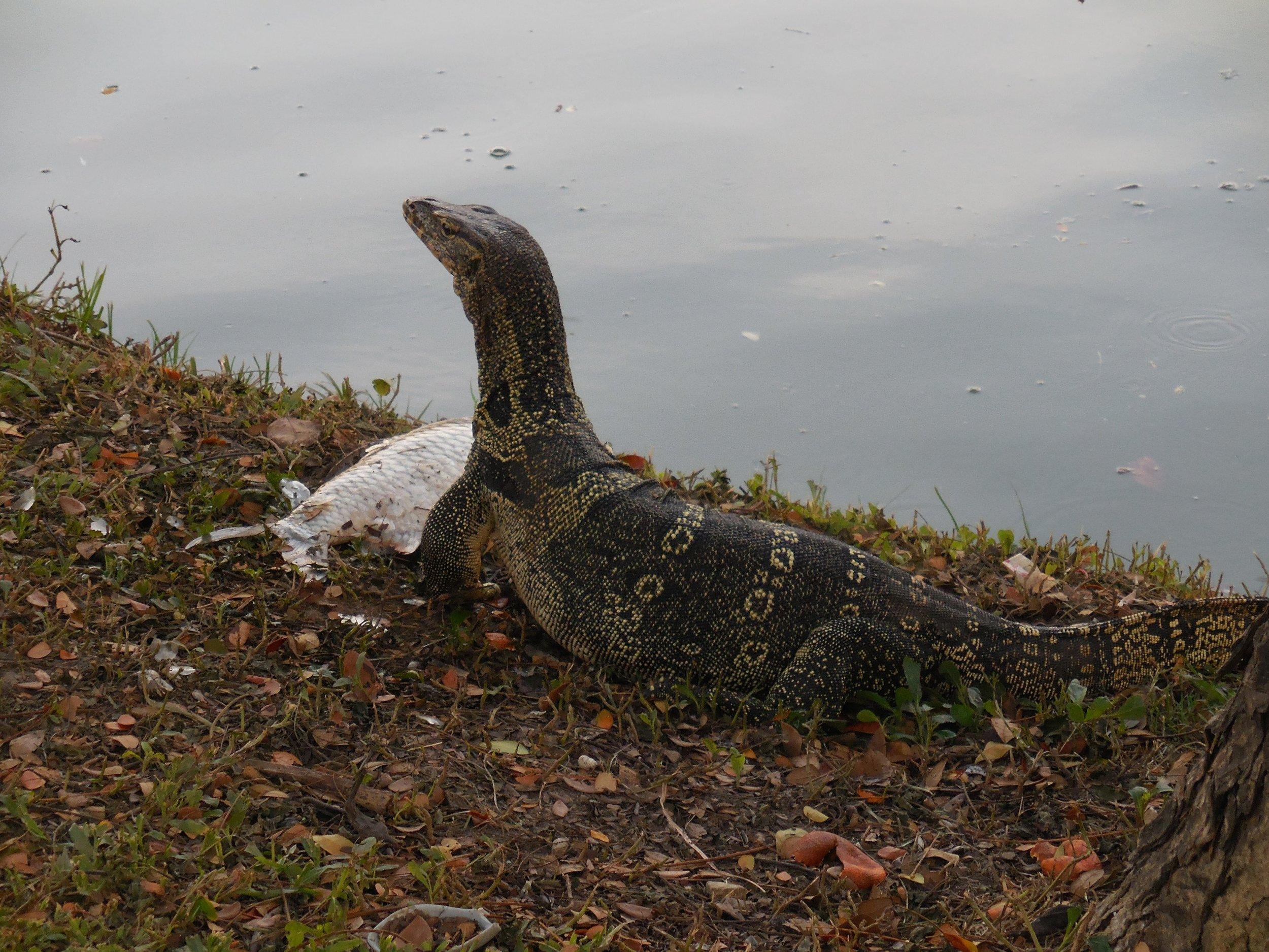Bangkok - Lizard