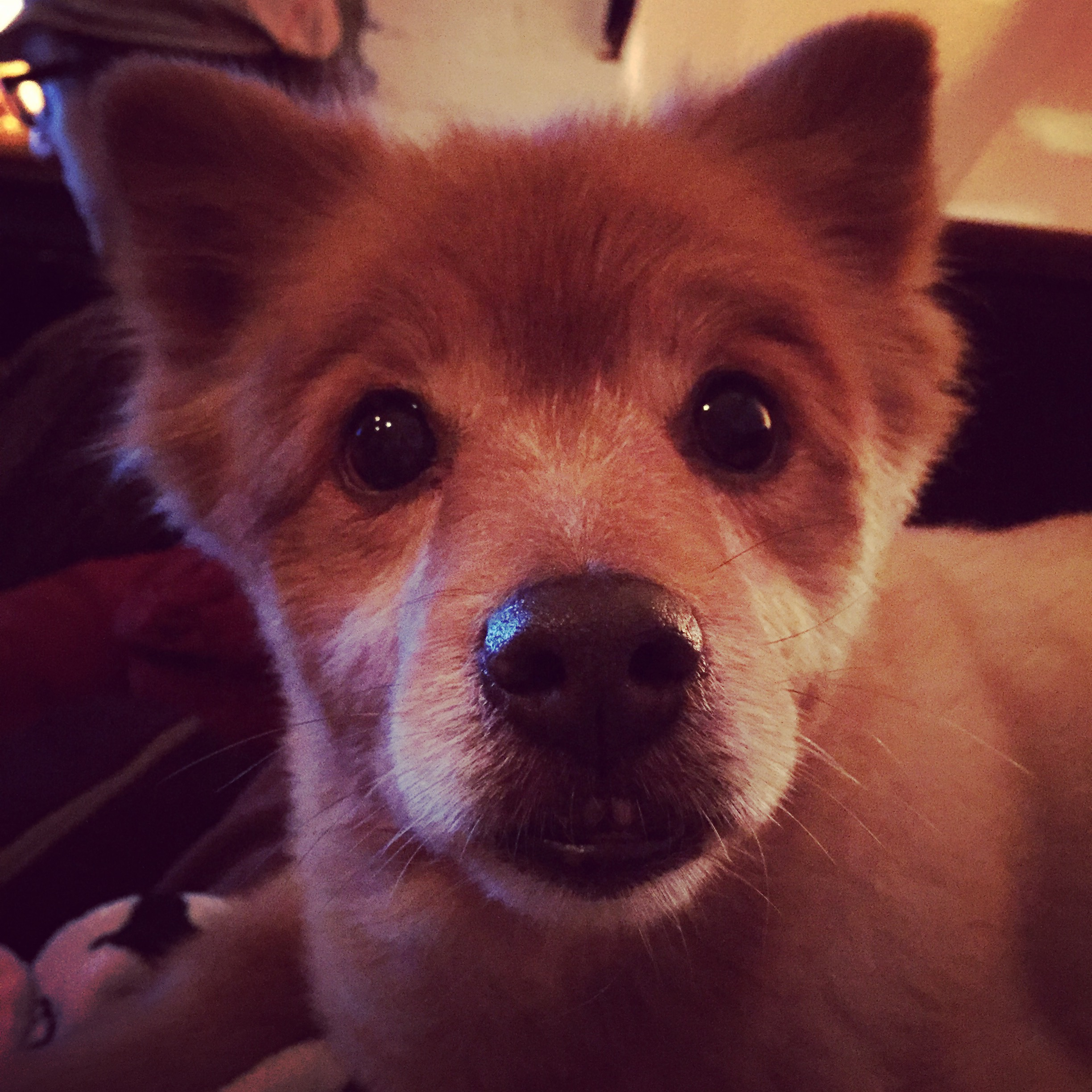Red - Red is a rescue dog that WE adopted back in 2015. we *think* he's a Finnish Spitz, but yes, he does look like a fox. :)