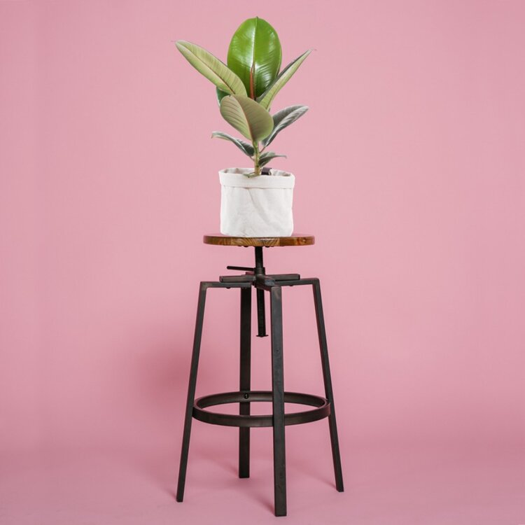 rubber-plant.jpg