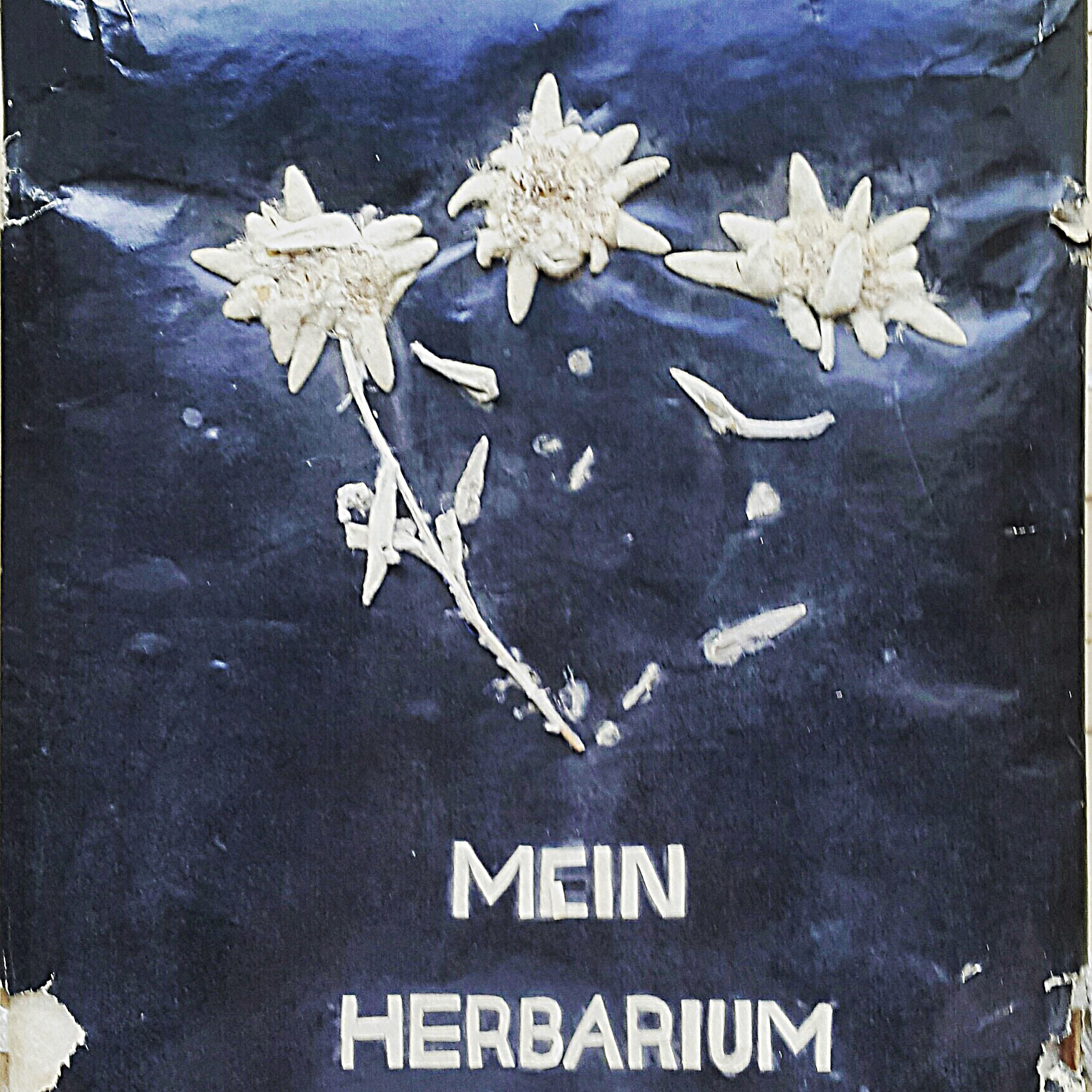 Edelweiss als Cover Model - Herbarium aus Grossmutters Zeiten