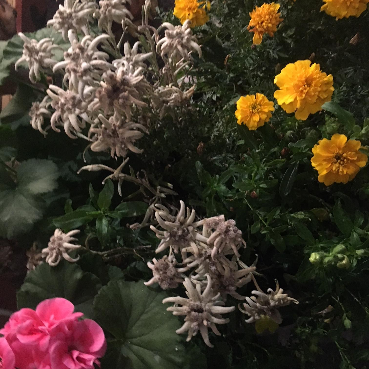 BELLY STORE RELOADED - Geschichten zu Edelweiss und Enzian