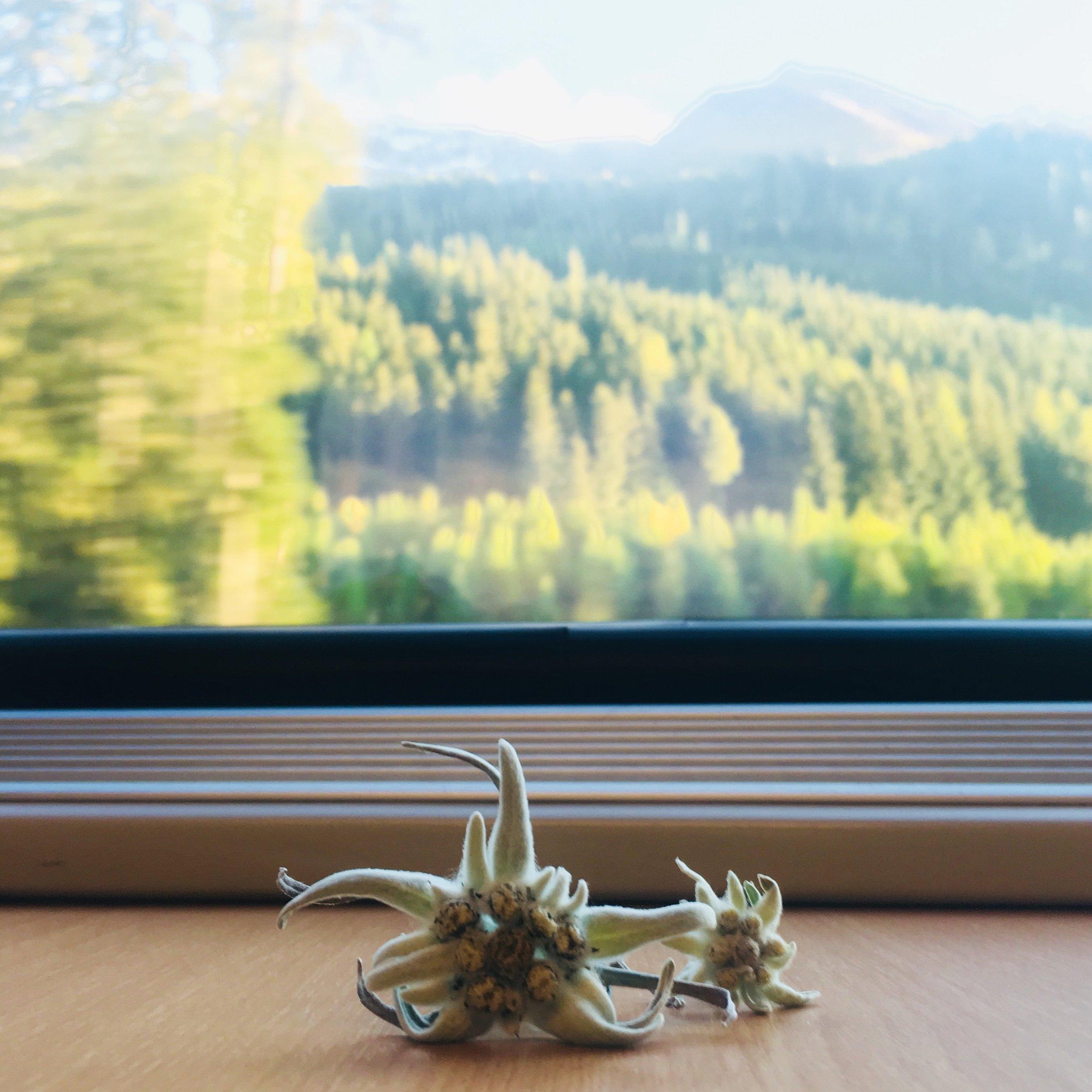 Bewegtes Edelweiss - Zwischen Ikea, Aqua Alta und der Kultivierung auf Plantagen