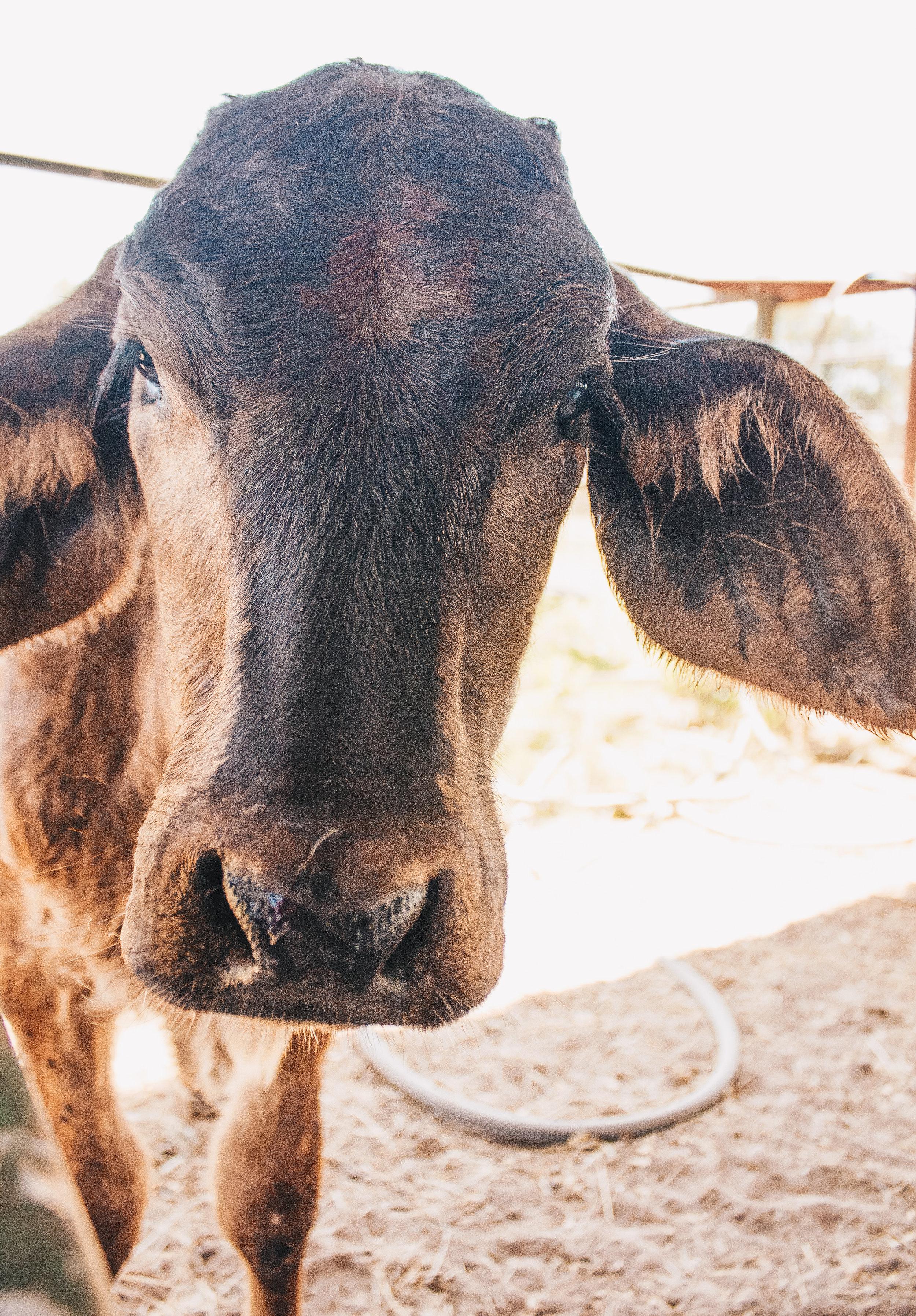 Livestock09.jpg