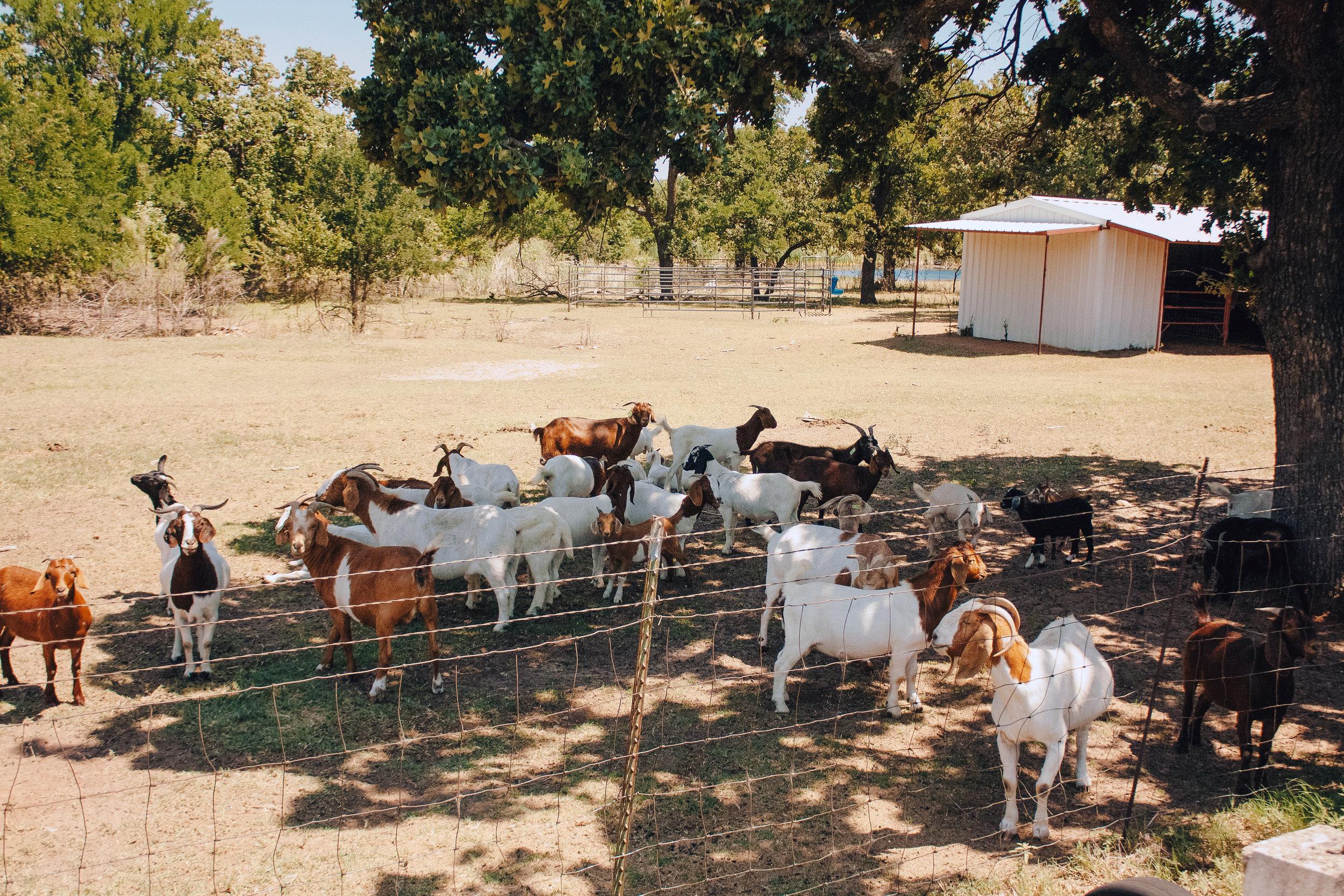 Livestock32.jpg
