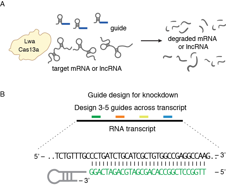 Figure 2.   Knockdown of target RNA molecules with Cas13.