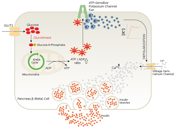 Figure 6.   Normal beta-cell signaling in the presence of elevated blood glucose levels.  1) Glucose uptake via facilitated diffusion. 2) Glucose à ATP generation. 3) Closure of ATP-sensitive potassium channel. 4) Depolarize cell. 5) Ca2+ influx. 6) Exocytosis of insulin granules 7) Release of insulin into circulation. (Schuit, Huypens, Heimberg, & Pipeleers, 2001)