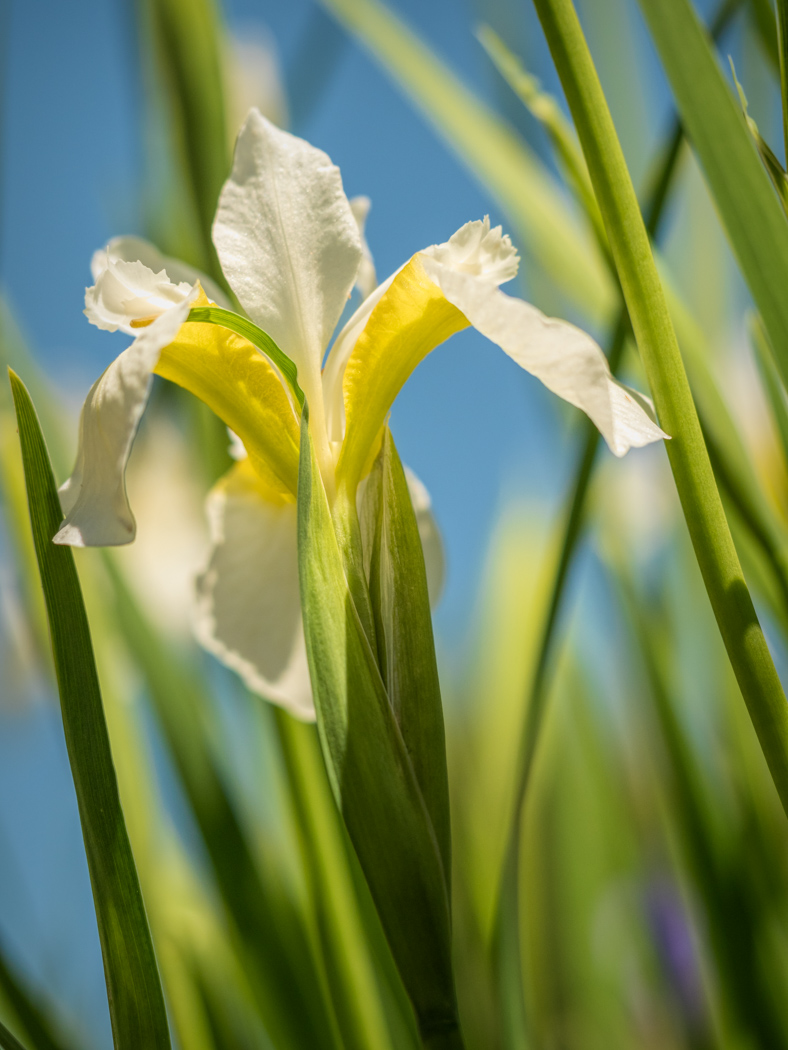 Little White Iris