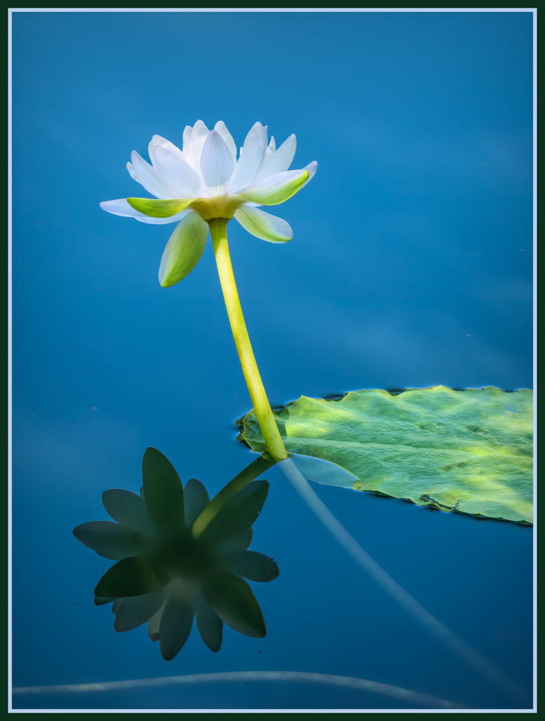 White Lily with Reflection