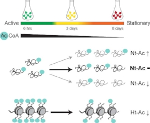 Graphic abstract:  To address a potential impact of nutrient starvation on N-terminal acetylation yeast cells were grown in rich YPD medium and harvested at exponential active (6 hours), semi-active (day 3) and stationary (day 8) growth phase. N-terminal COFRADIC analysis on whole yeast extracts revealed that the global N-terminal acetylation levels remain largely unaffected by changes in cellular metabolism. However, two distinct sets of N-termini were differentially acetylated following starvation. The first protein cluster displayed generally  increased  N-terminal acetylation in stationary phase, despite a significant reduction in the cellular levels of acetyl-CoA. Similar to histone acetylation, the second protein cluster was generally  less  acetylated following entry to stationary phase. Copyright: Varland  et al.
