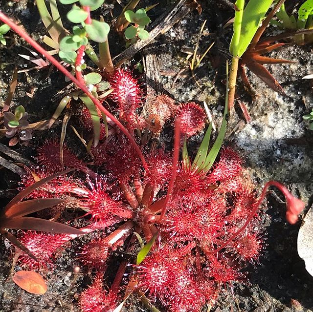Incredible day at the ranch 😍🙌 So grateful that such a place exists, protecting Florida native plants and animals forever.  Surrounded all day with fresh air, no cell service, and beautiful springtime flowers... Quite a harvest too! ✌️💙🌿 Pink Sundew (Drosera capillaris)  Pale Meadow Beauty (Rhexia mariana) Yaupon harvesting hands Sweet Bay Magnolia (Magnolia virginica) Frogfruit (Phyla nodiflora) Harvest of: Beautyberry, Slash Pine, Black Willow, Lantana, Sundew, Yaupon, Spotted BeeBalm Blackroot (Pterocaulon virgatum) Blackberry (Rubus betulifolius) Bog-Buttons (Lachnocaulon anceps) Lizards Tail (Saururus cernuus) #eufloriahealing #floridaherbologist #herbalmedicine #shaman #floridamedicine #floridashaman #floridagardening #organic #treasurecoast #southflorida #stuart #hobesound #florida #plantmedicine #growyourownmedicine #floridaplants #floridanature #floridanativeplants #homesteading #herbalremedies #herbalworkshops #herbalmedicine #herbology #organic #verobeach #jupiter #westpalmbeach