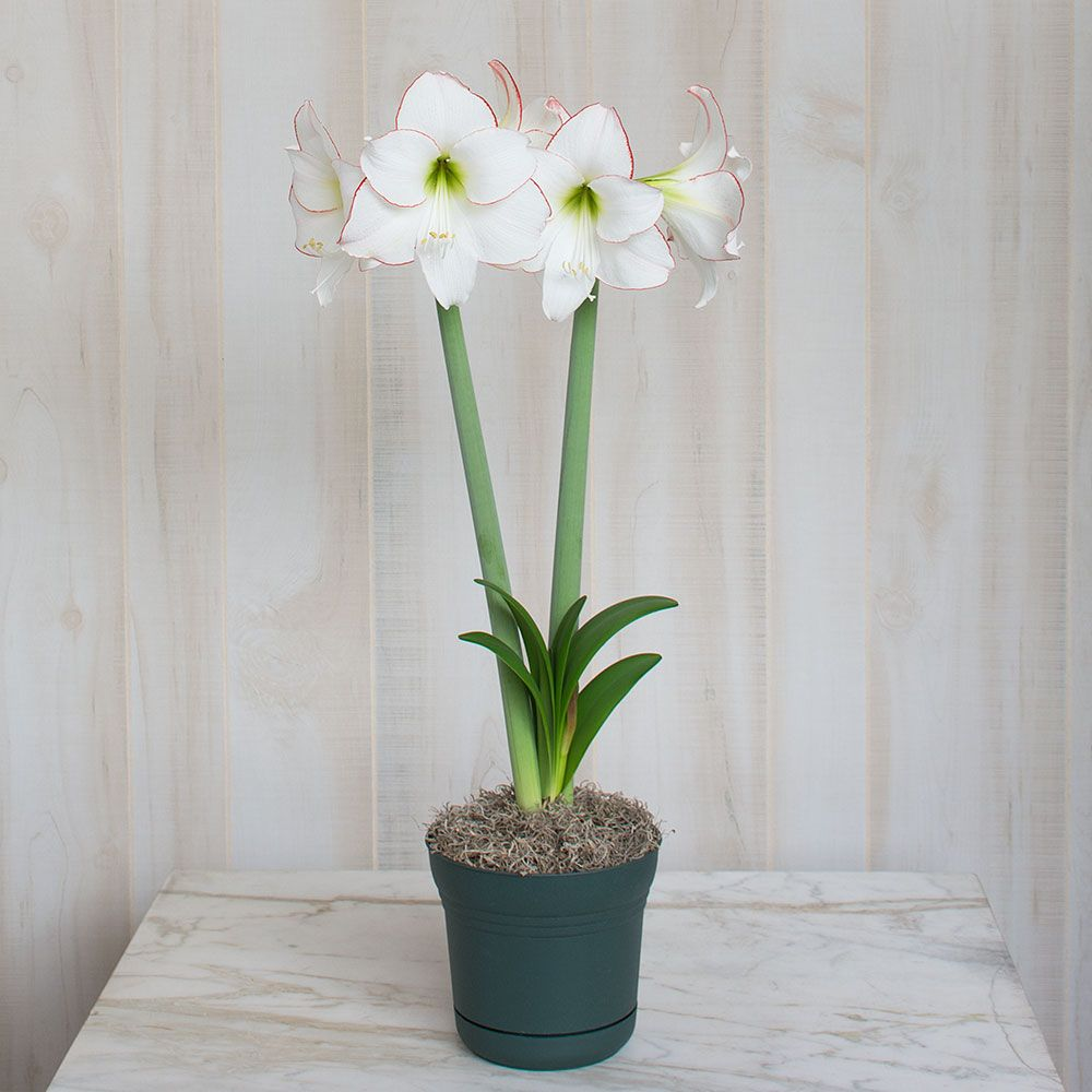 Amaryllis Bulb - What could be better than a gorgeous white bloom to get you through the dark winter days ahead? Allow 8-10 weeks from bulb to bloom.