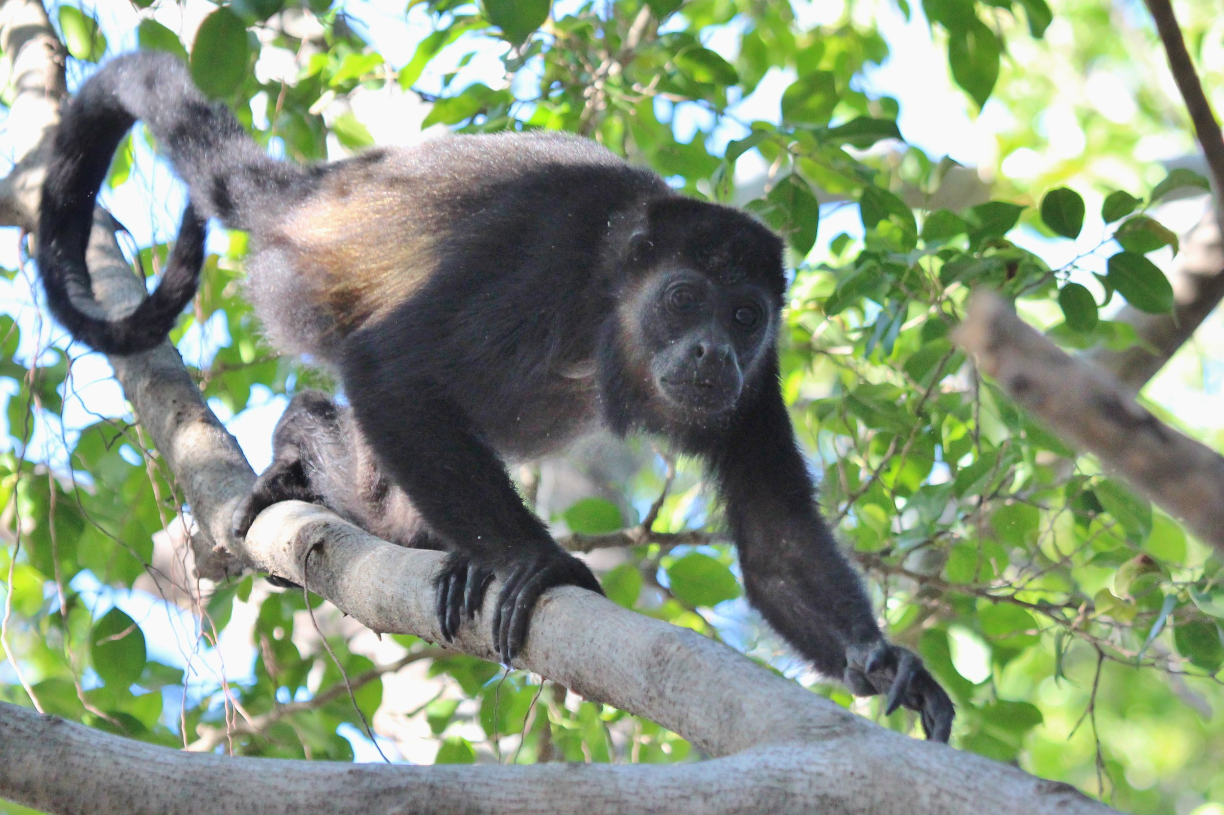 Howler monkeys woke us up each morning with their low pitched howling and hooting. A troop of them frequented a tree near our hotel.